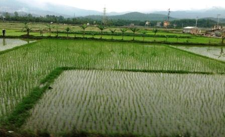 The process for growing rice hasn't changed much in hundreds of years.